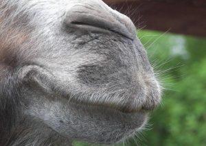 Camel smile.jpg, źródło: Wikimedia Commons