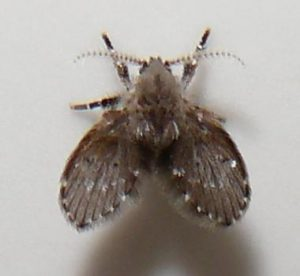 Psychodidae species.jpg, źródło: Wikimedia commons