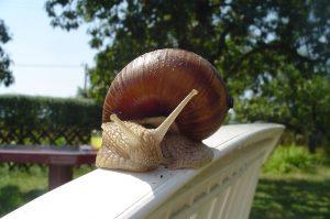 Ślimak.JPG, źródło: Wikimedia commons