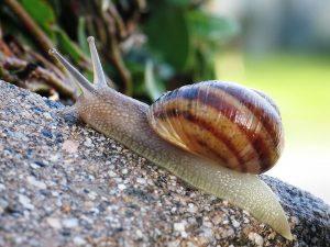 Common snail.jpg, źródło: Wikimedia commons