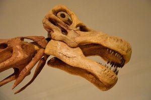 Opisthocoelicaudia Museum of Evolution in Warsaw 05.JPG, źródło: Wikimedia commons